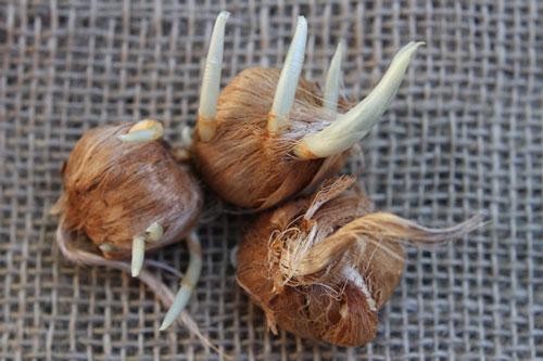 Saffron onions | پیاز زعفران