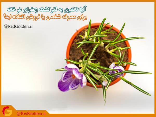 زعفران خانگی | زعفران گلخانه ای